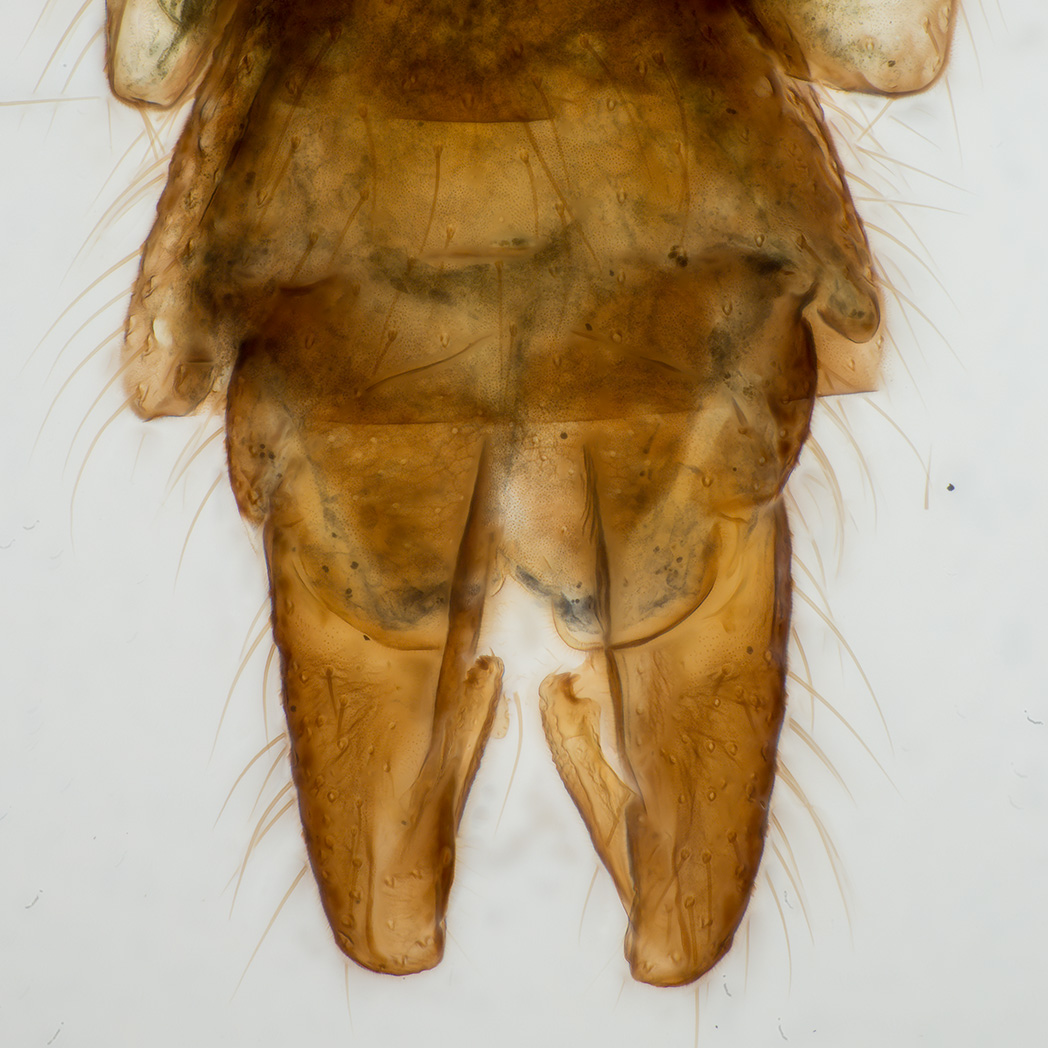 Chironomide male genitalia, photo Jörgen Hellberg