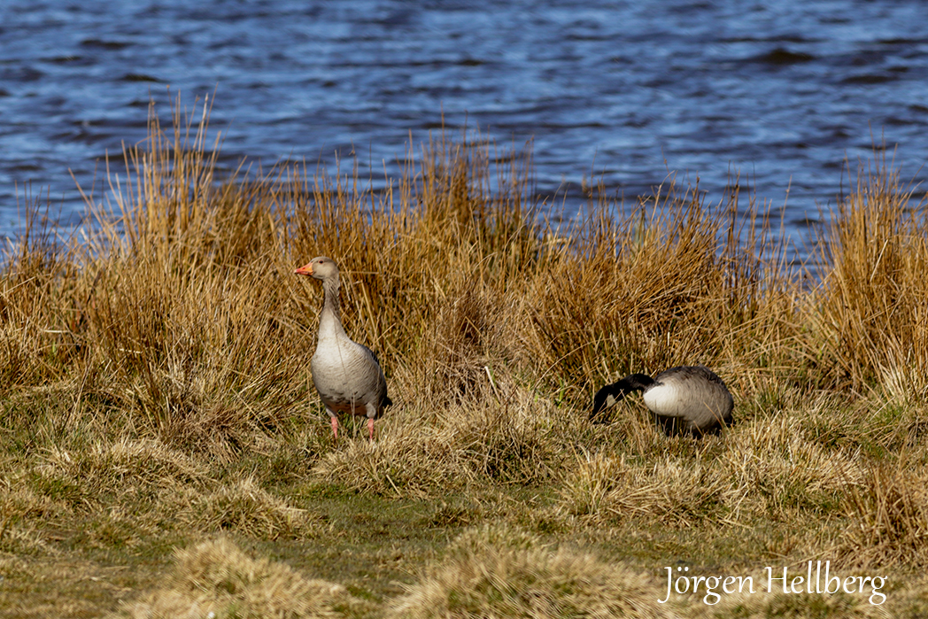 Greylag goose and Canada goose
