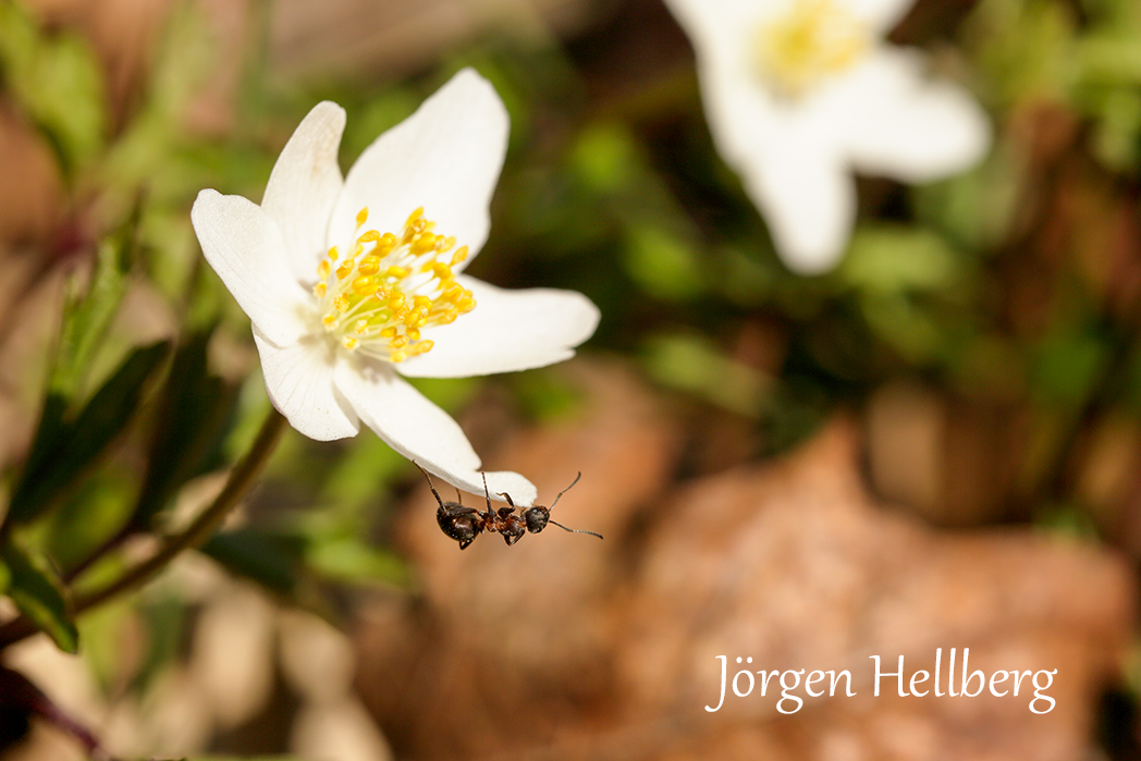 Wood anemone and ant