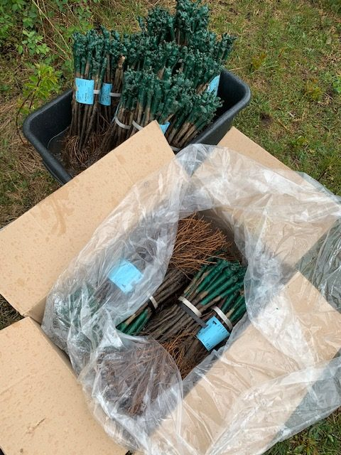 Plantor av vinrankor i en låda som ska pla planteras