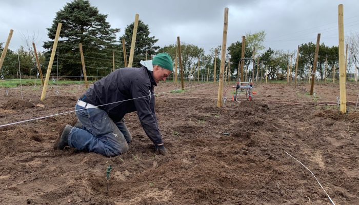Första steg i plantering av vinrankor och förberedande av jorden på Henriksdals Vingård
