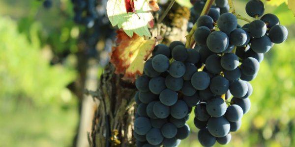 Odla vindruvor och Vinodling av sorten regent druva