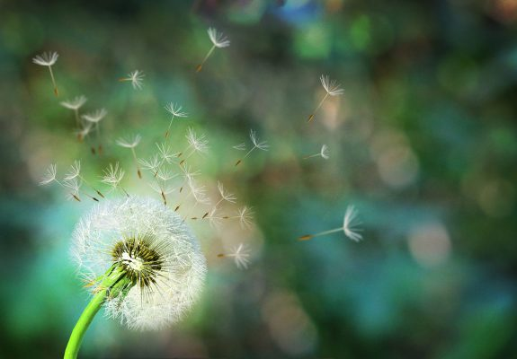 Dandelion. Close up of dandelion spores blowing away,blue sky background
