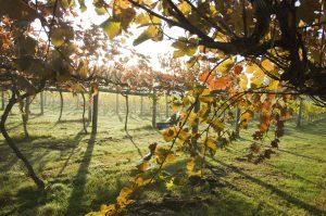 Highdown Vineyard - Autumn