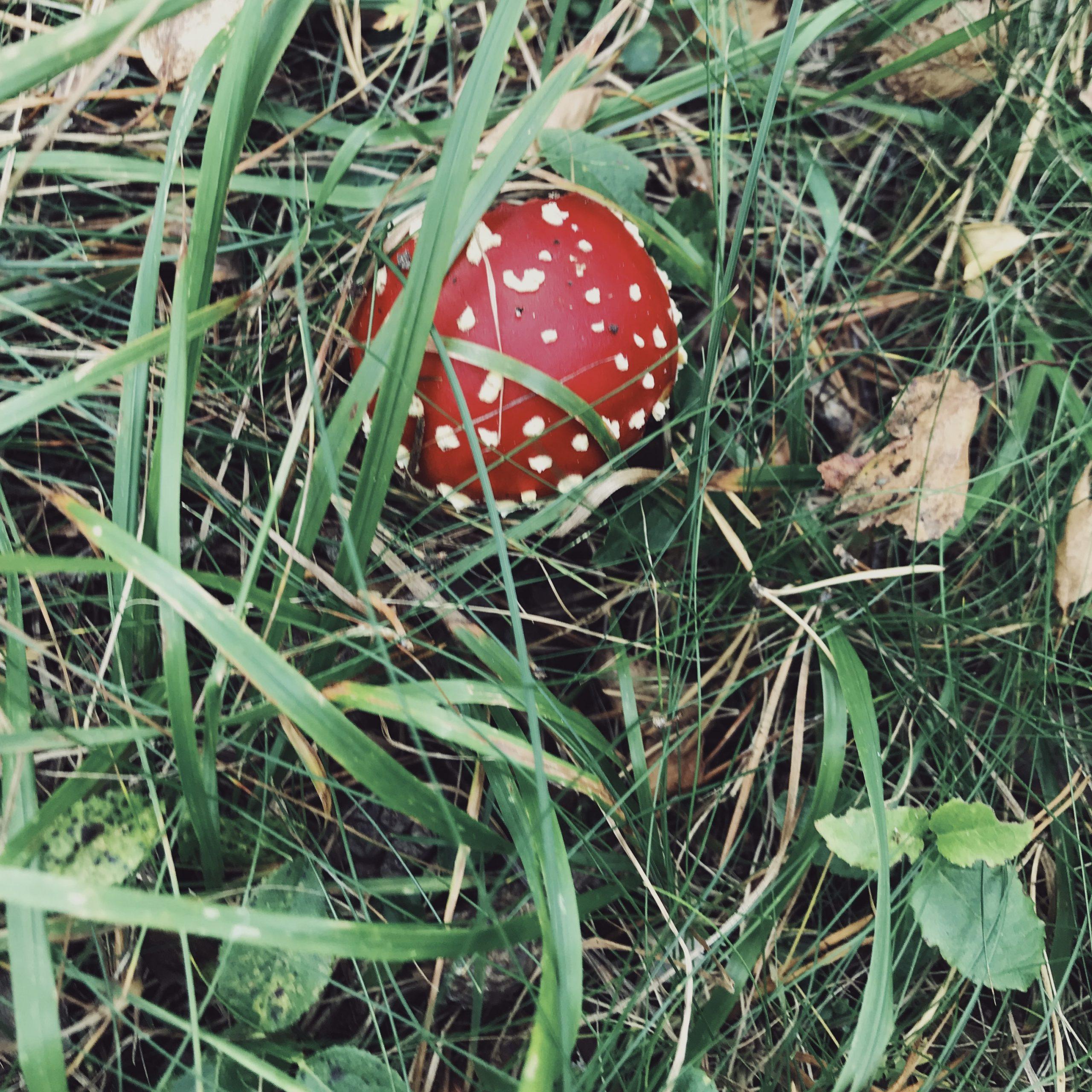 mushroom-flugsvamp-skog-forrest-nature-skräp