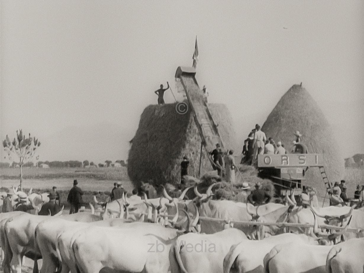 Benito Mussolini bei Getreideernte