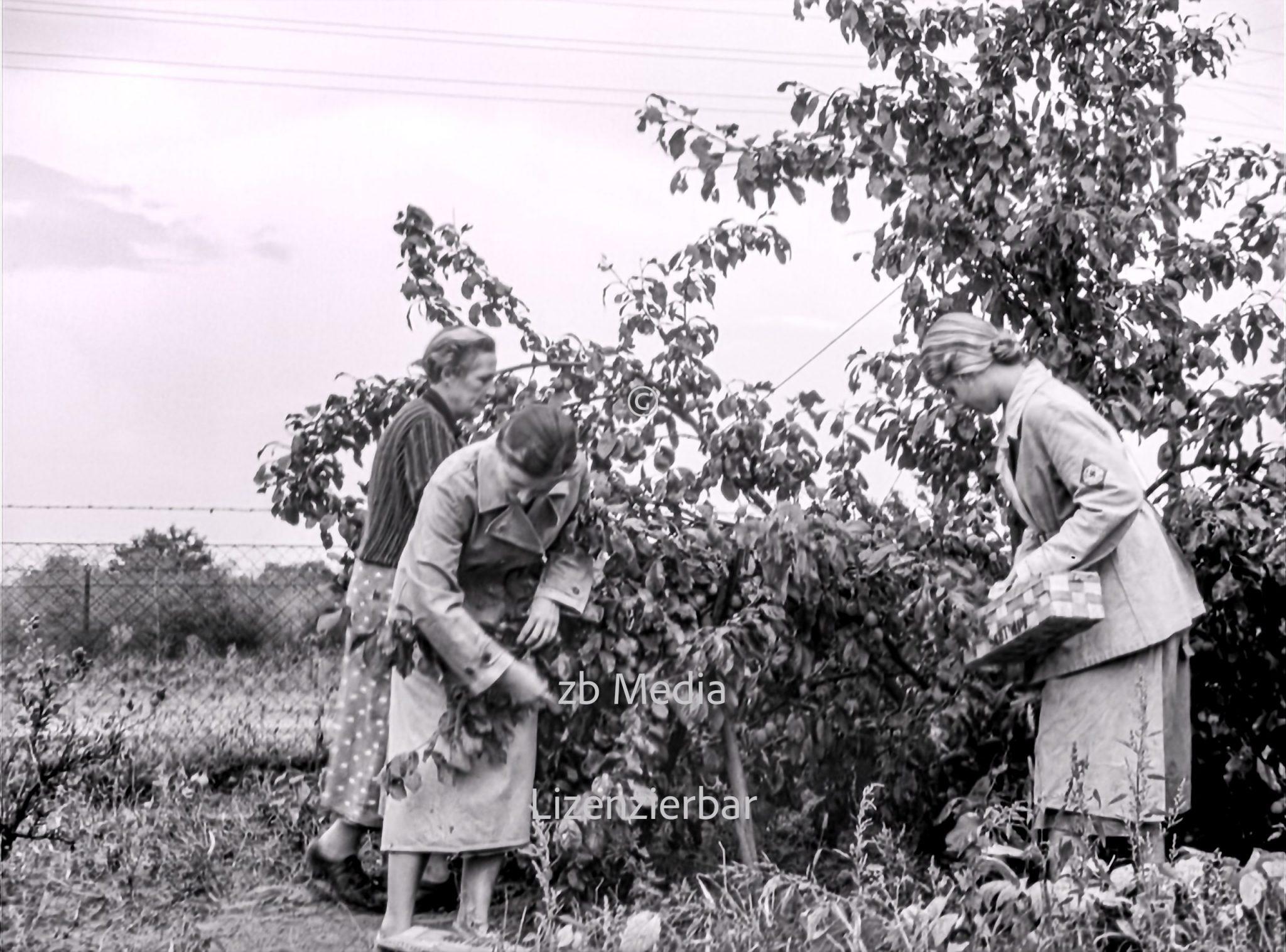 NS Frauen helfen bei Aprikosenernte 1937