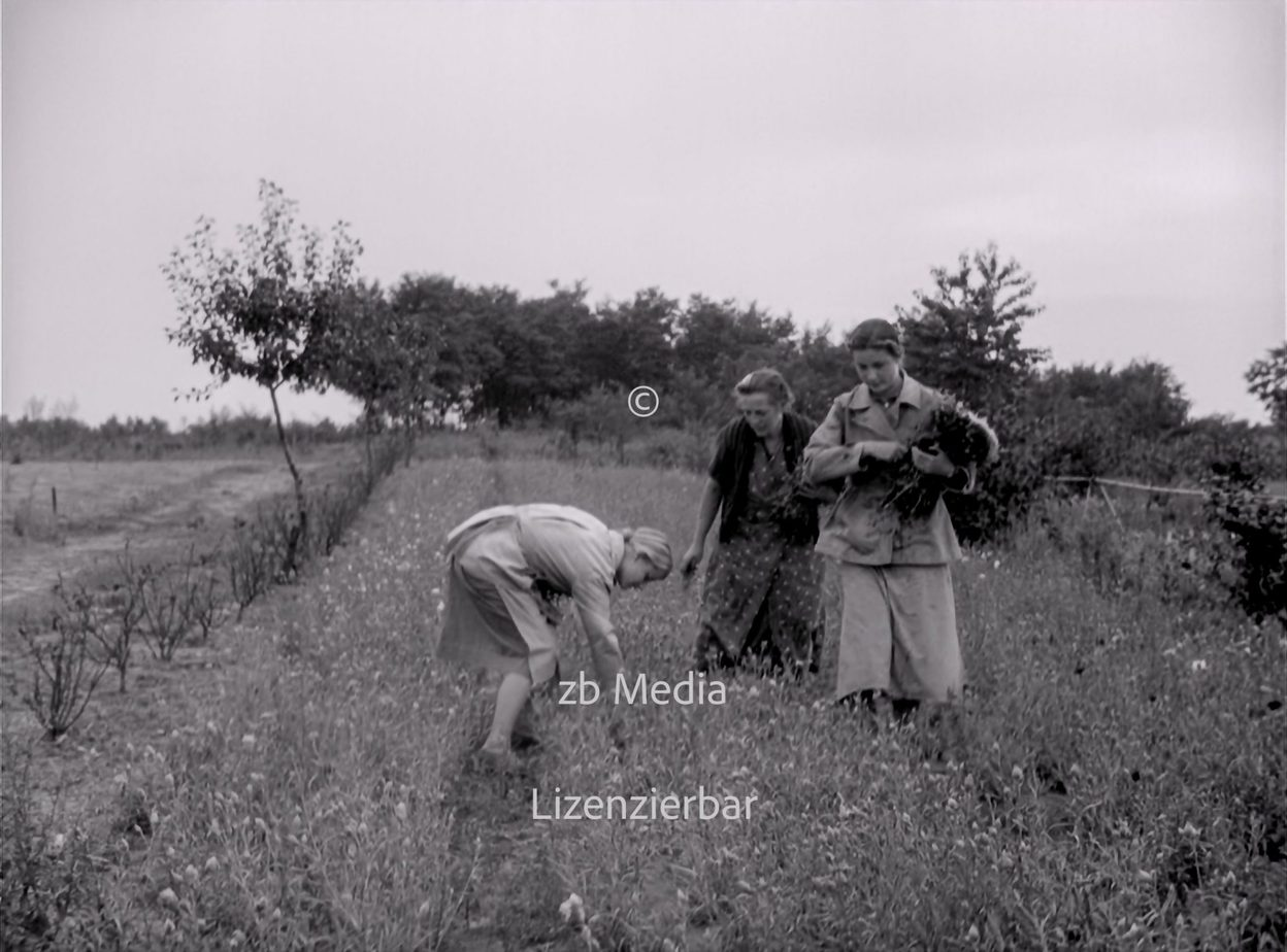 NS Frauen helfen bei Blumenernte 1937
