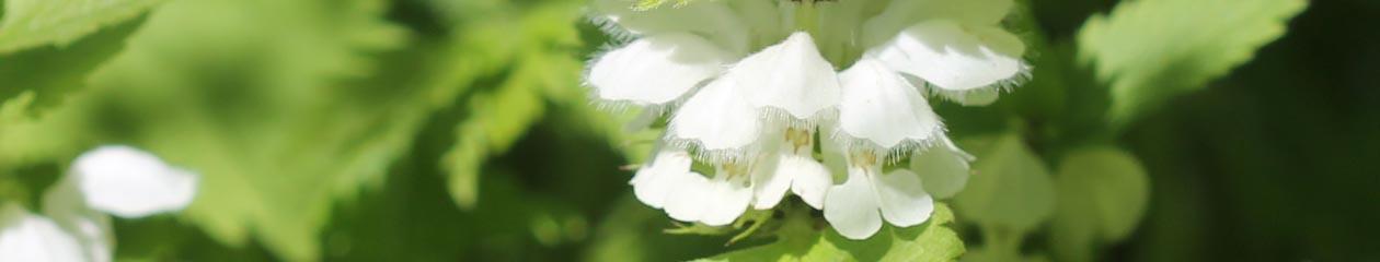 Historiske Planter