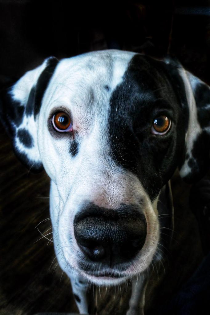 hondenbureau-samba-gedragsbegeleiding-dalmaat