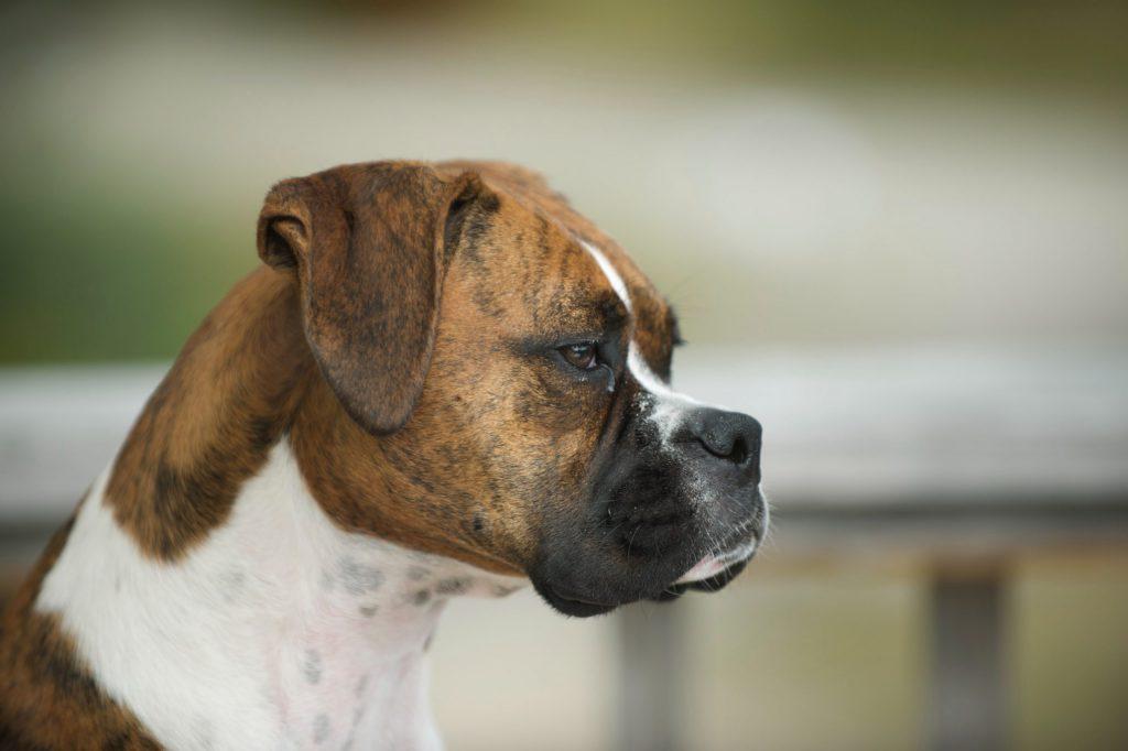 hondenbureau-samba-hondenschool-aan-huis-boxer-scaled-e1575477378779
