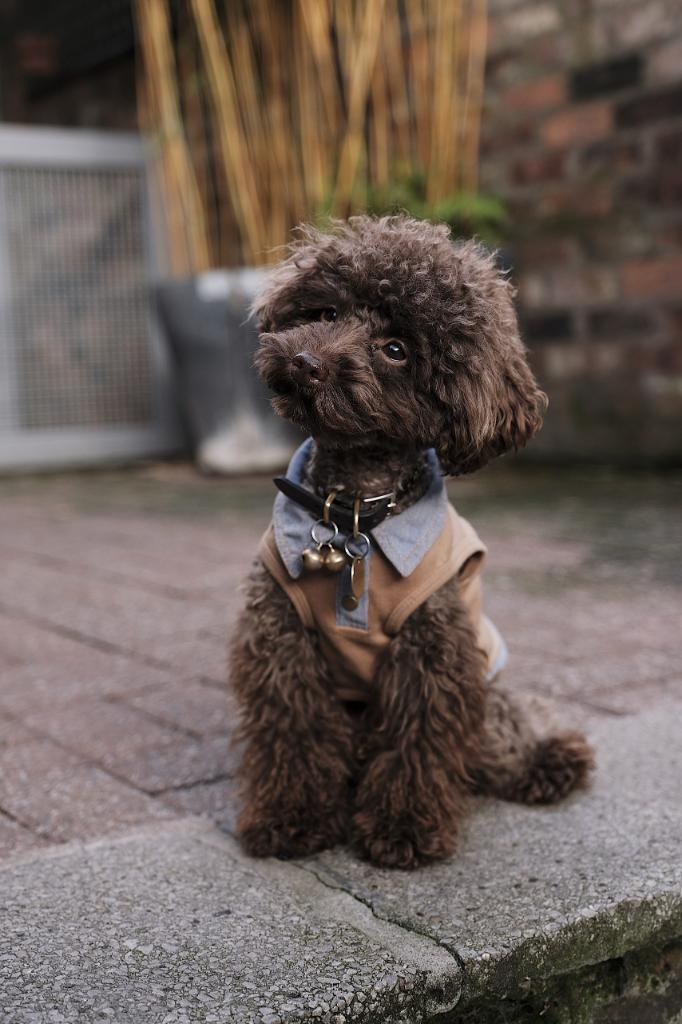 hondenbureau-samba-hondenschool-aan-huis-poedel