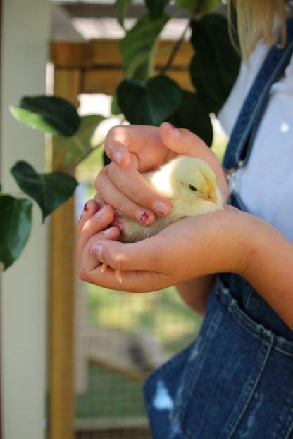 Startpaket kycklingar