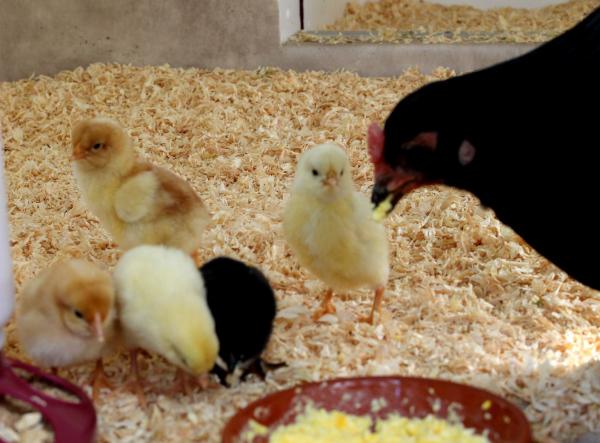 Kyckling äter mat