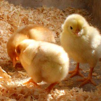 Stora startpaketet kycklingar