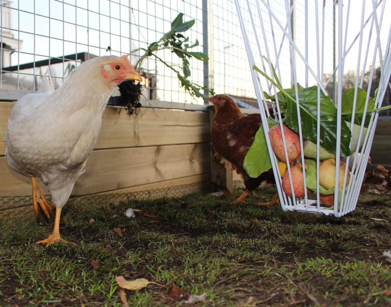 Höns med foderkorg