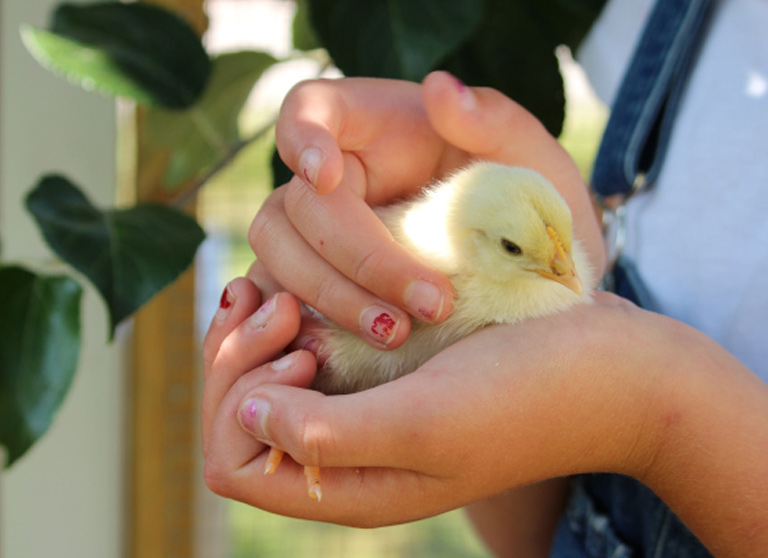 Kycklingskötsel