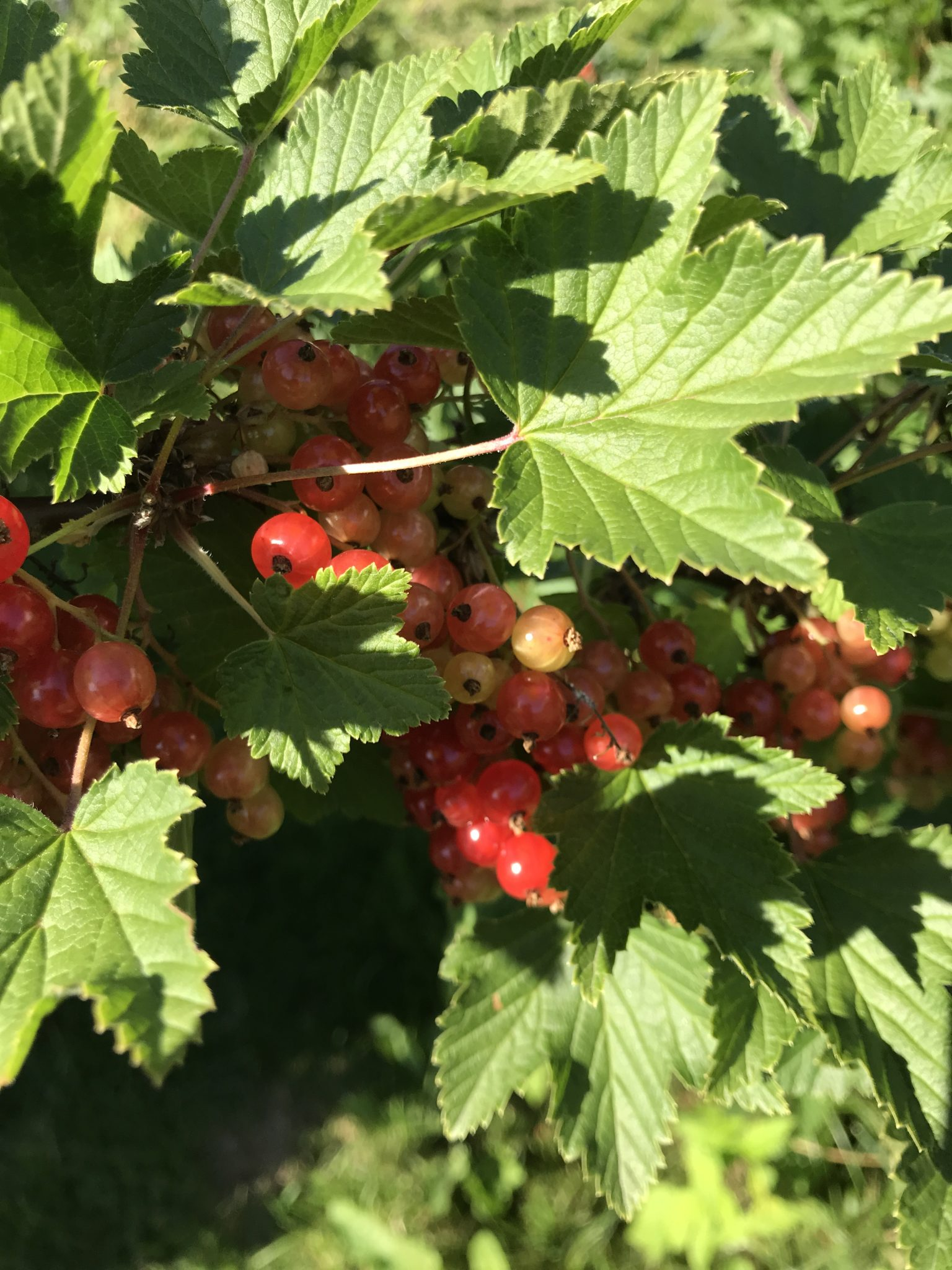 Our red currants are more than 20 years old. I will try to get some to grow in a hugelkultur bed next year.