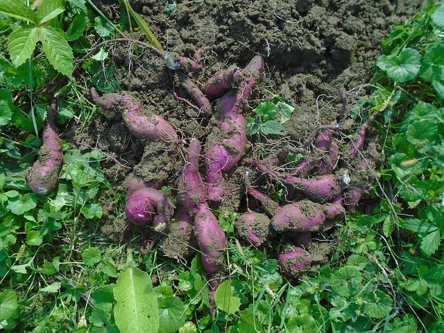 Root vegetables - sweet potato