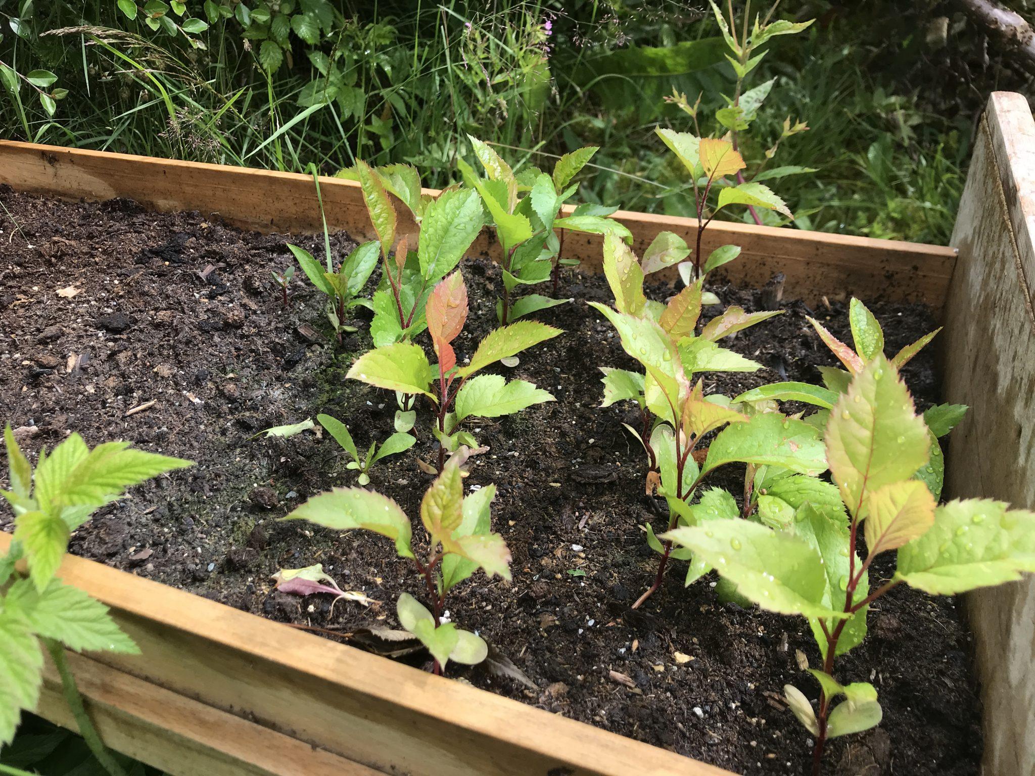 Apple tree seedlings