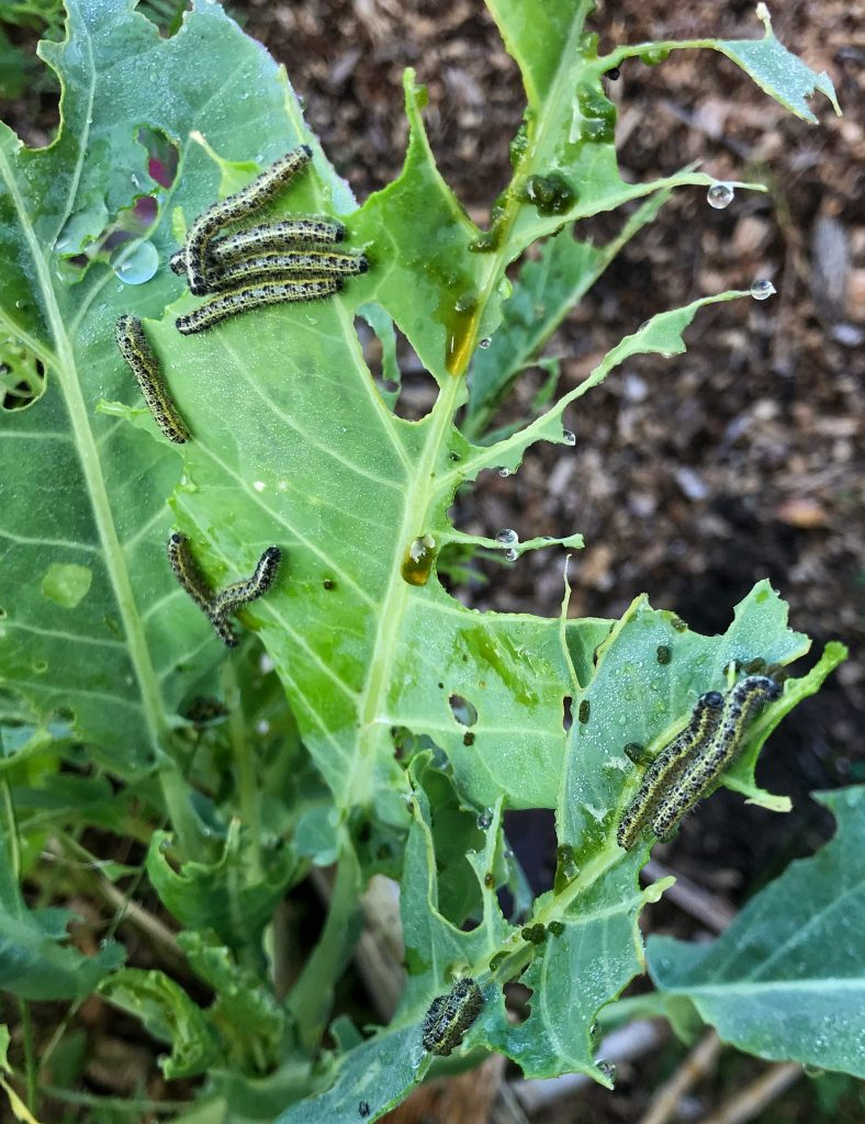I cut off the worst damaged parts of the cabbage and put them, along with the caterpillars, into my hot compost bin. They might have escaped from a cold compost pile.
