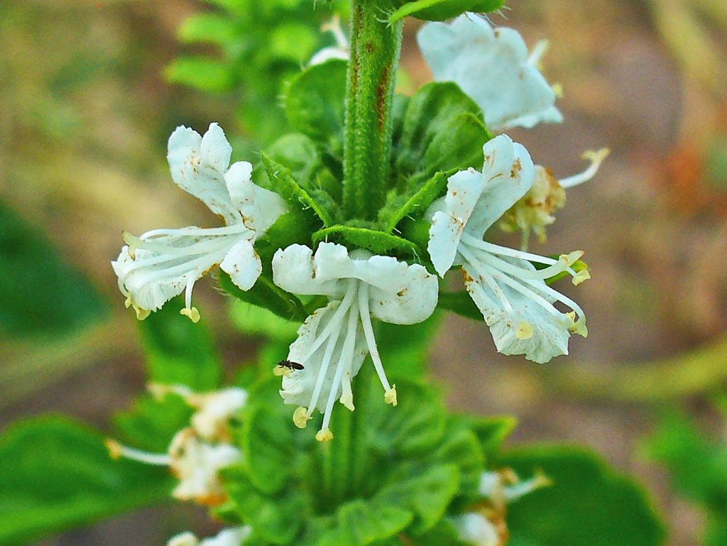The Ocimum centraliafricanum, (the copper flower or copper plant) a perennial herb found in central Africa is a good example of geobotanical prospect plants. It is used by geologists that are looking for copper and nickel as it can tolerate a very high concentration of those metals in the soil. Photo: H. Zell / CC BY-SA (https://creativecommons.org/licenses/by-sa/3.0)