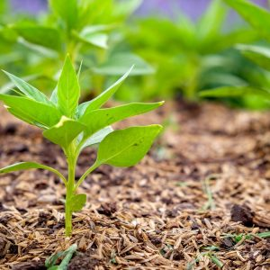 Provide shade and mulch the ground around plants