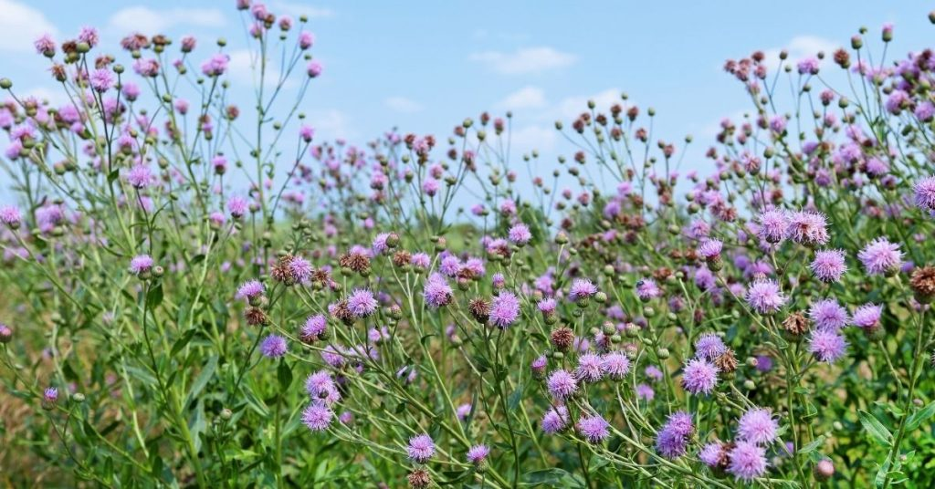 Quite a few plants can indicate more than one category. Canada thistle - (Cirsium arvense) is one of them. Compact soil and rich nitrogen soil
