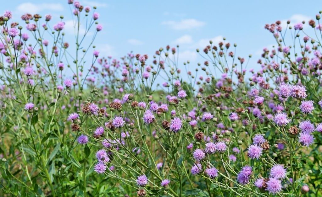 Canada thistle, an indicator plant