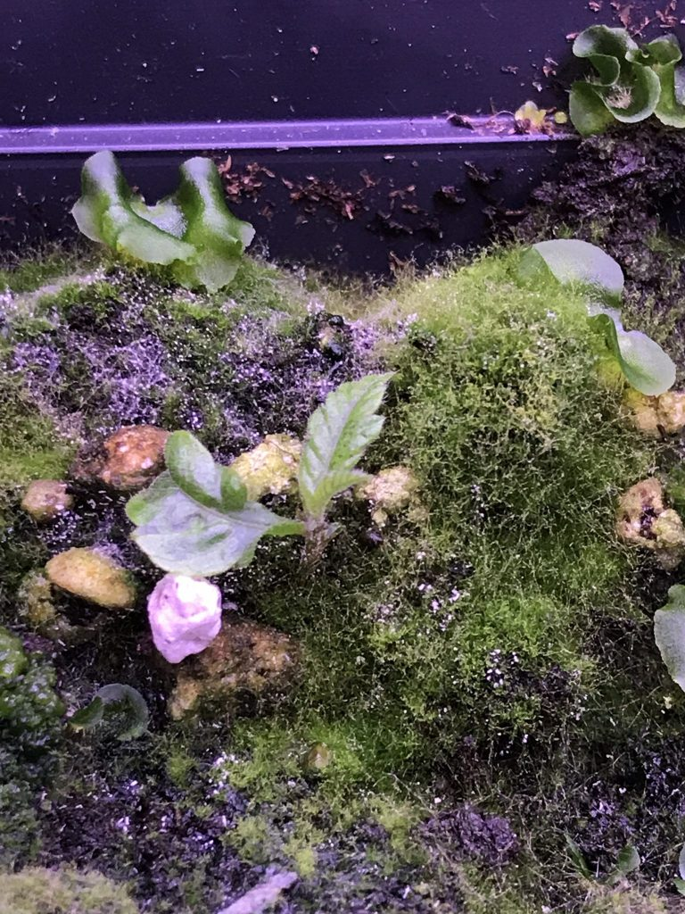 Lots of moss thrived along with the Dwarf Chestnut (Castanea pumila) (photo taken 30th of December 2020)