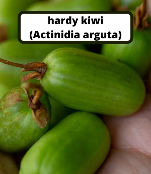 Growing Hardy Kiwi in Norway