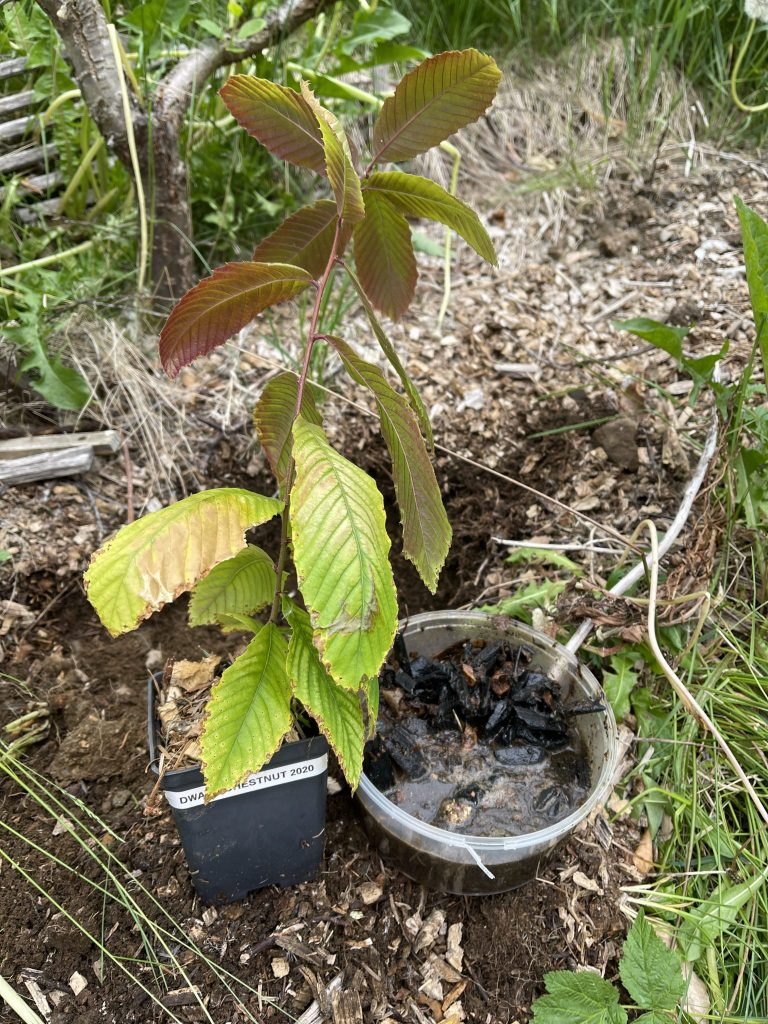 After quite a few months indoors under grow lights it's time to get the Dwarf Chestnuts in the ground. This one got a bit of sun damage, as I didn't harden it slowly enough. Hope it will do well despite this.