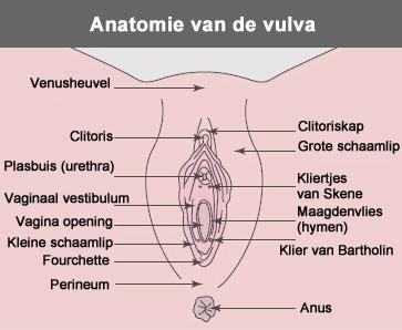 vulva anatomie