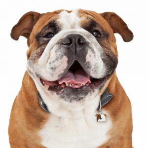 Engelsk bulldog hundetegn