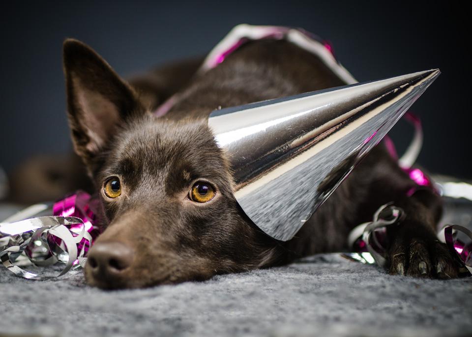Närbild av liggande hund med partyhatt på ett öra och serpentiner över sig, kelpie