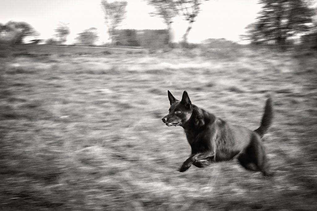 Hund i full fart på väg mot något - ska någon belöna med lek? Kelpie
