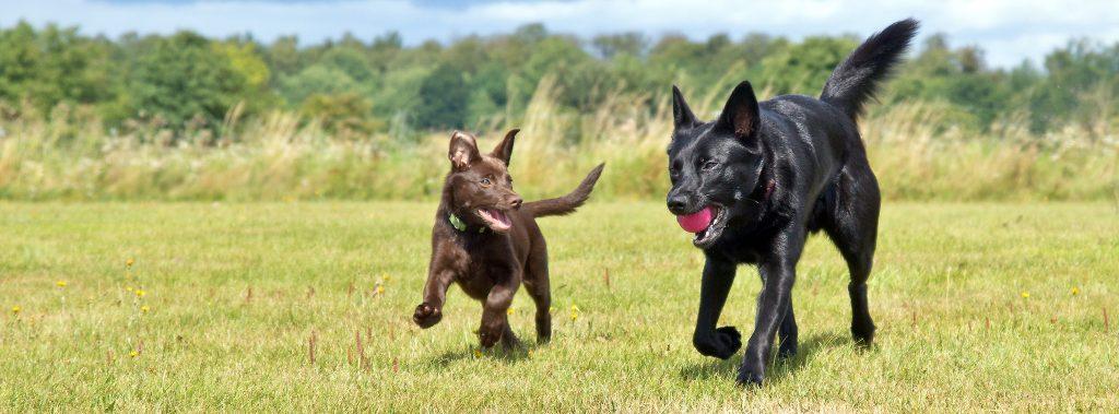 Glada hundar springer tillsammans, inga problem