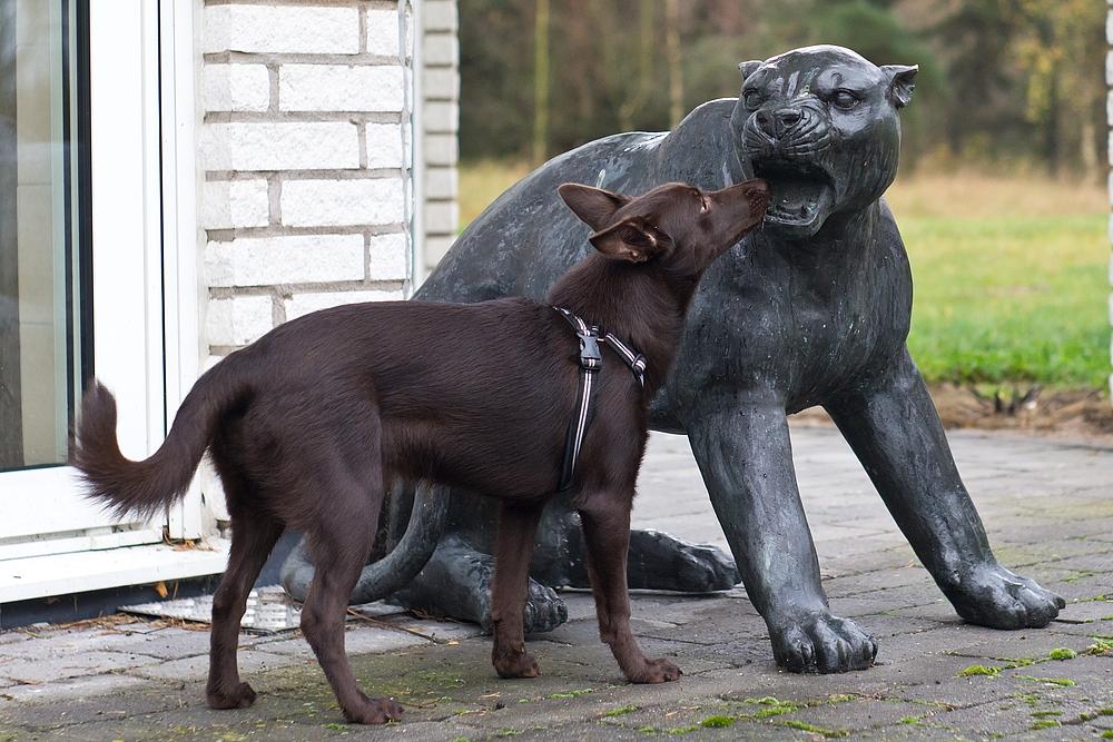 I läskiga hundmöten är det svårt att inte skälla och dra, kelpie möter staty av jaguar.