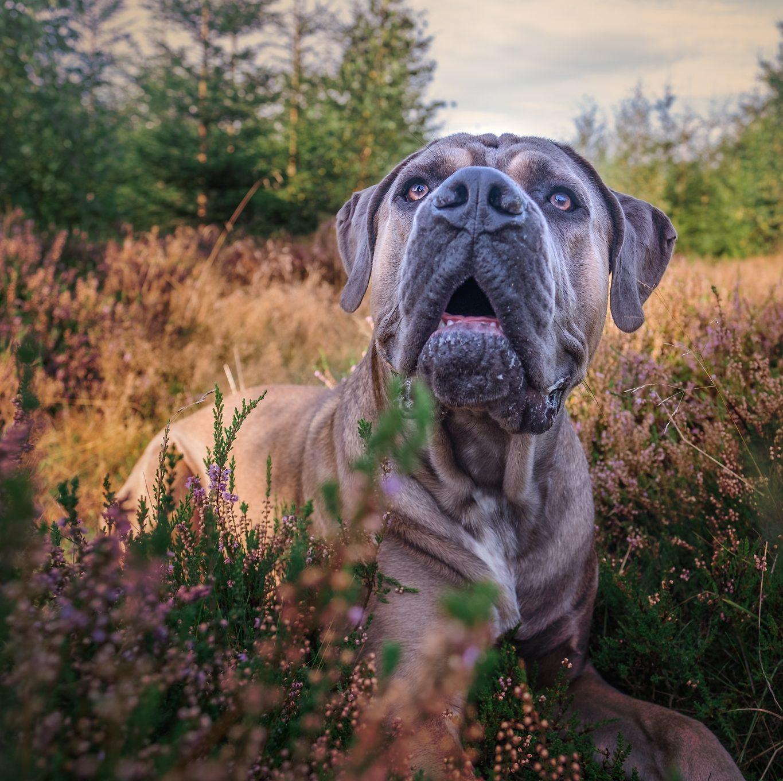 hund stor nos nosework