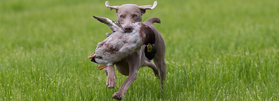 Hund & Jagt