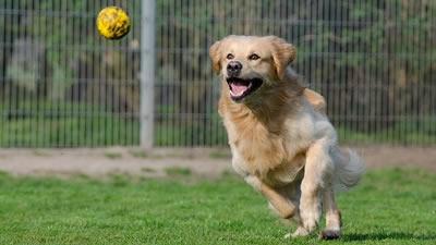 Dog Flyball Training