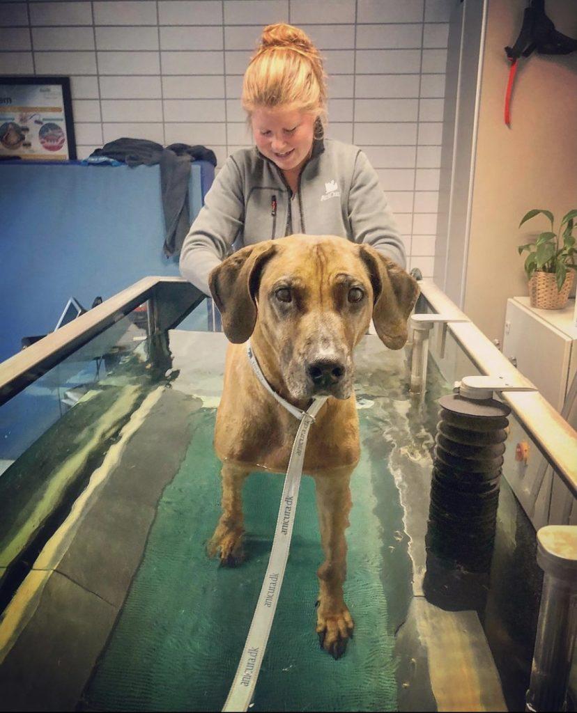seniorhund Foenix Rhodesian Ridgeback træner på vandløbebånd