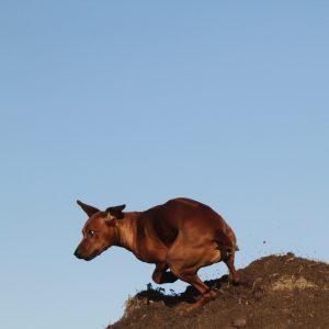 Nubia Juani Bayani Etosha Hvirvelvinden Rhodesian Ridgeback