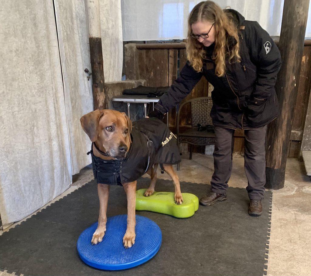 Seniorhund Hannibal til træning hos www.hundibalance.dk