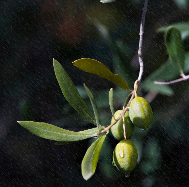 frantoio olive