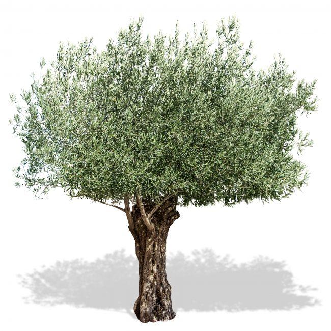 umbrian olive tee