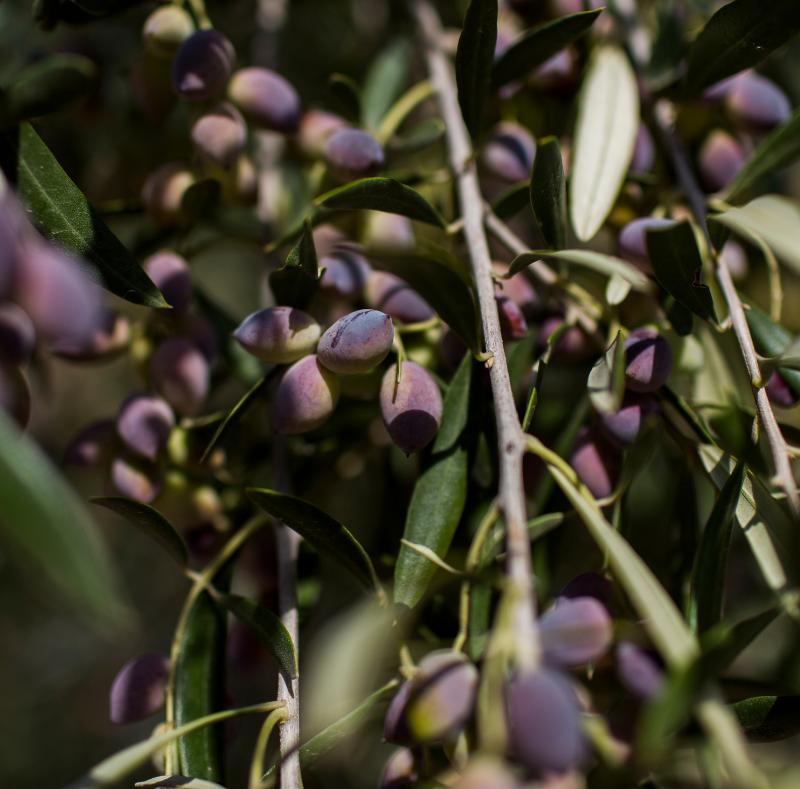 san felice olive