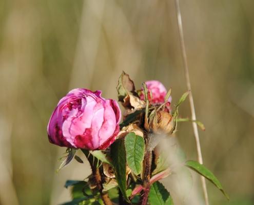 Historisk rose (???? ´??????? ?????`)