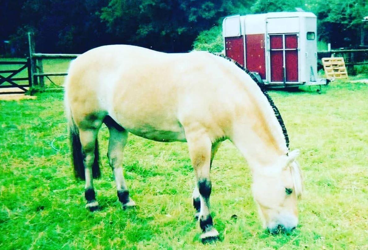 Odin the Fjord Pony
