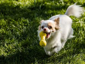 A Chihuahua with toy